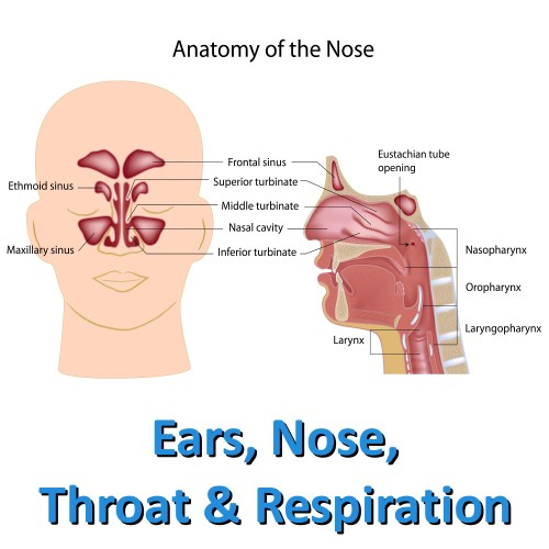 new-ear-nose-throat-and-respiration-square
